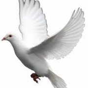 funeral Dove